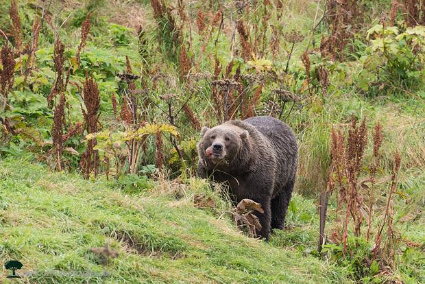 Bear at Frazer Lake near Kodiak