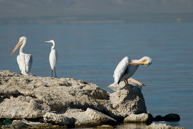 Birds at the Salton Sea in California
