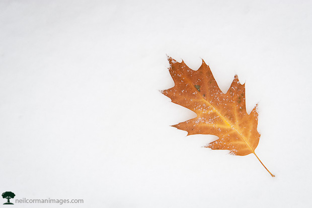 Fall Leaf on Snow - Change of Seasons