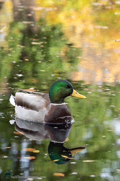 Duck at Hudson Gardens