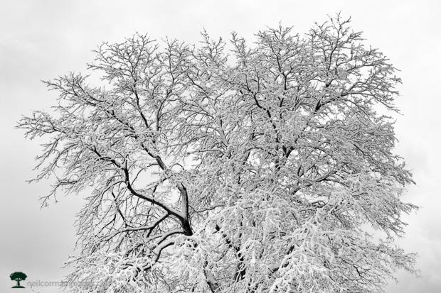 Spring Snow on a Tree in Denver City Park