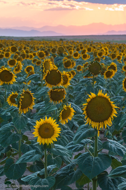 Sunflowers on the Colorado Plains in the Afternoon