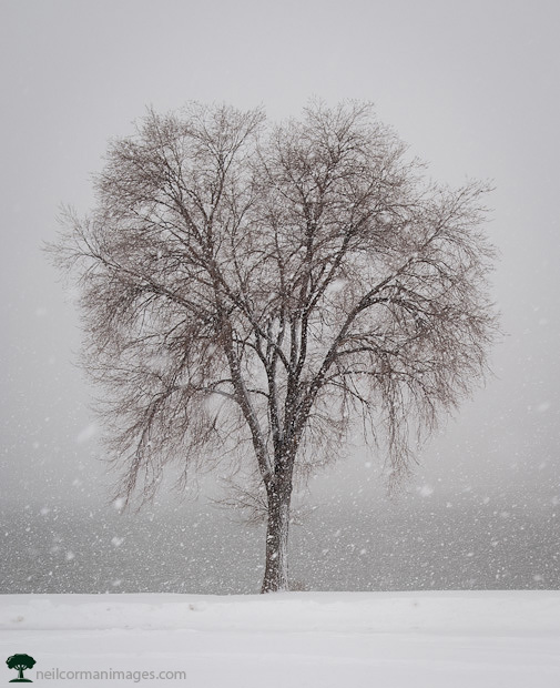 Tree in the Snow at Sloans Lake - Denver